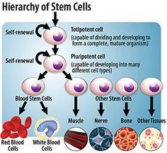 Stem Cells Research Cranial Nerves Anatomy, Biochemistry Notes, Cell Parts, Pharmacology Nursing, Cardiac Nursing, Ob Nursing, Molecular Genetics, Cord Blood Banking, Stem Cell Research