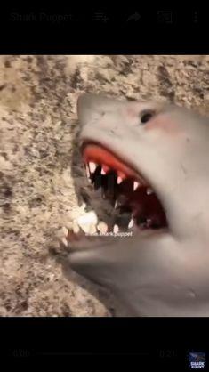 Shark puppet has me dying 🤣- Ai eu amo a internet kkkkl Video Humour, Funny Video Memes, Crazy Funny Memes, Really Funny Memes, Stupid Funny Memes, Funny Relatable Memes, Animal Jokes, Funny Animal Memes, Funny Animal Videos
