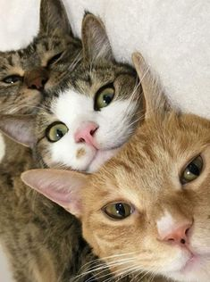 I Love Cats, Cute Cats, Funny Cats, Happy Animals, Cute Animals, Gato Animal, Cat Photography, Grey Cats, Domestic Cat