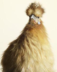 (via What's up! trouvaillesdujour: Peter Lippmann's Luxury Chicks)