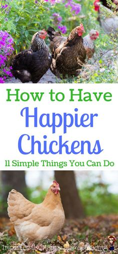 How to Have Happier Chickens. 11 Simple Things You Can Do for your homestead or backyard chickens.