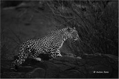 Mashatu Leopard - Wildlife Photographer Community Wildlife photographer Anton Roos shared his first image on http://photos.wildfact.com, a website community for wildlife photographers only. To enjoy the image click below link to view in full mode, to join the community, see many other wildlife photographs and follow wildlife photographers http://photos.wildfact.com/image/583/mashatu-leopard  #Wildlife #WildlifePhotography #Photography #KNP