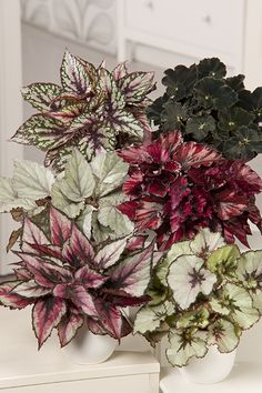 Image Bégonia Rex is part of Begonia - House Plants Decor, Plant Decor, Foliage Plants, Potted Plants, Plant Pots, Tropical Garden Design, Decoration Plante, Design Jardin, Indoor Flowers