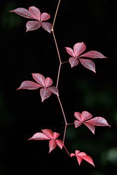 The main attraction of Parthenocissus thomsonii is its five-fingered leaves, which are bronzy-purple in spring turning glossy green at maturity and deep red in the fall.In Deep In Deep may refer to: Wallpaper Nature Flowers, Flowery Wallpaper, Flowers Nature, Beautiful Flowers, Virginia Creeper, Leaf Photography, Asian Garden, Ivy Plants, Autumn Scenes
