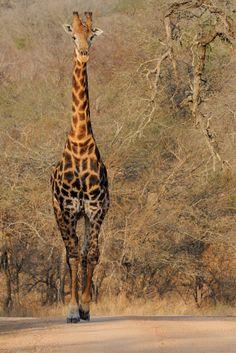 Giraffe ~ Kruger National Park, South Africa