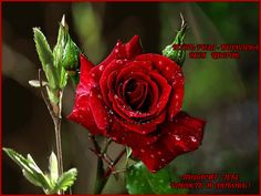pust-roza-koroleva-vsex-cvetov-podarit-tebe-radost-i-lyubov