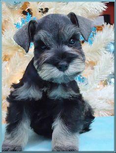 Paris a mini schnauzer puppy oh my Gosh what a beautiful puppy so adorable