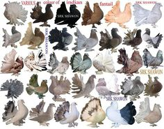 Indian Fantail Pigeon Chart Cute Birds, Pretty Birds, Beautiful Birds, Pigeon Bird, Dove Pigeon, Rare Animals, Animals And Pets, Types Of Pigeons, Fantail Pigeon