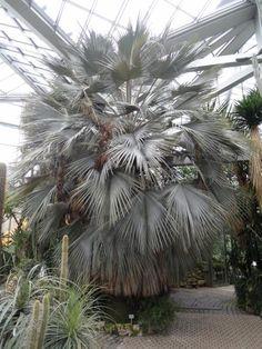 http://jungletropicale.com/2012/10/brahea-armata/