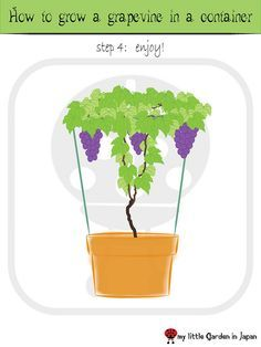 This is awesome! New weekend project! how-to-grow-a-grapevine-in-a-container by delcasmx, via Flickr