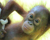 Sepilok Orangutan Appeal UK - registered charity dedicated to the rehabilitation and preservation of Orangutans and their habitat. Beautiful Birds, Animals Beautiful, Cute Animals, Giraffes, Elephants, Cute Monkey, Primates, Monkeys, Habitats