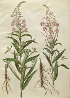 Image result for chamerion angustifolium illustration