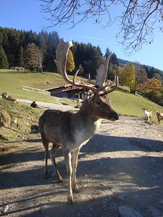 #Wildpark #Aurach, Tirol, Austria - watching the animals at feeding time is something you can't imagine! Being among wild animals is breath-taking!