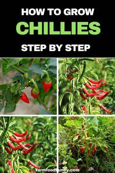 Fruit Garden, Edible Garden, Harvest Garden, Herbs Garden, Planting Vegetables, Growing Vegetables, Vegetable Gardening, Chilli Plant Care, Chilli Seeds