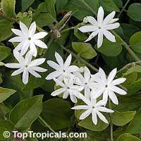 Jasminum pubescens, Jasminum multiflorum, Jasminum gracillimum, Jasminum bifarium, Downy Jasmine, Angel Hair Jasmine, Star Jasmine