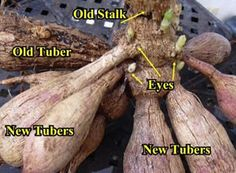 Dahlia Tubers | Growing Dahlias | how to grow Dahlias | Helpful tips on dahlia growing ...