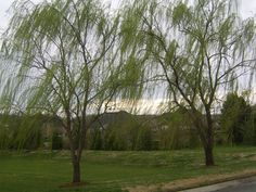 Google Image Result for http://www.landscapenashville.com/Templates/ASSETS/photos/cherry%20willow%20trees%20middle%20tn%20nashville008.JPG