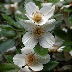 Eucryphia × nymansensis 'Nymansay' - Buscar con Google