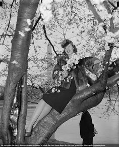 Not even the cherry blossom queen is allowed to climb on the trees these days. Check out @National Parks Conservation Association's latest blog post on the cherry trees, then and now!