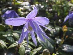 Clematis Vines For Spring – Types Of Spring Flowering Clematis. A variety for almost every climate in the USA
