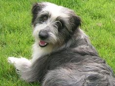 Brambledale Bearded Collies   Home