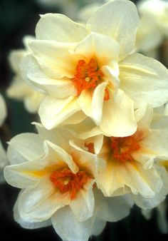 Mary Copeland daffodil, 1913 oldhousegardens.com