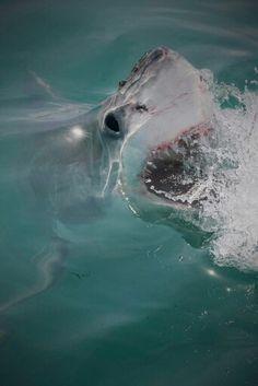 Sea, Sharks and Marine Wildlife Underwater Creatures, Underwater World, Orcas, All Sharks, Shark Bait, Apex Predator, Deep Blue Sea, Water Life, Great White Shark