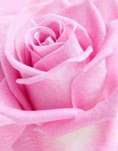 Love Rose Pink Pretty In Beautiful