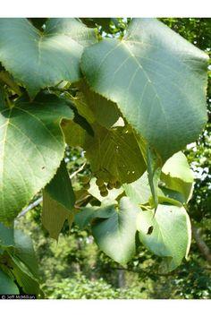 Tilia americana- Basswood leaf