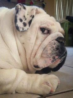 #Bulldog.
