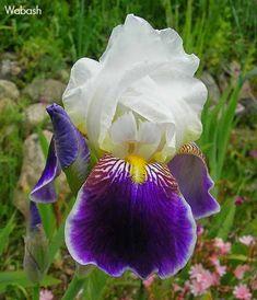 World of Irises: 'HISTORIC' OLDIES, DYKES MEDAL WINNERS BEFORE 1958 cont.Wabash
