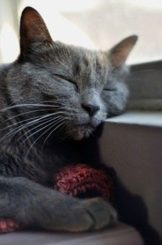 I love my Russian Blue kitty named Chloe. WE have known each other since I was 1 year old. She has been through everything with me. :D #RussianBlueCat