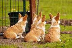 Pack of young Pembroke Welsh Corgi dogs #corgi