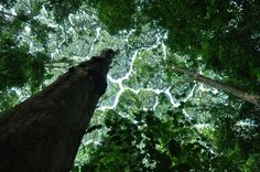 "10+ Amazing Examples Of ""Crown Shyness"", A Phenomenon Where Trees Avoid Touching"