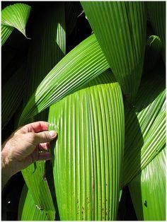 CURCULIGO CAPITULATA: Nomes Populares: Curculigo, Capim-palmeira/ Família: Amaryllidaceae/ Categoria: Folhagens, Forrações à Meia Sombra/ Clima: Equatorial, Subtropical, Tropical/ Origem: Ásia/ Altura: 0.9 a 1.2 m, 1.2 a 1.8 m/ Luminosidade: Luz Difusa, Meia Sombra/ Ciclo de Vida: Perene