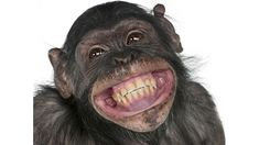 Buy Close-up of Mixed-Breed monkey between Chimpanzee and Bonobo smiling, 8 years old by Lifeonwhite on PhotoDune. Close-up of Mixed-Breed monkey between Chimpanzee and Bonobo smiling, 8 years old Primates, Smiling Animals, Funny Animals, Cute Animals, Laughing Animals, Monkey Smiling, Talking Animals, Animal Funnies, Animal Memes