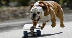 Biuf il bulldog che corre sullo skateboard
