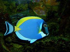 Powder Blue Surgeonfish ( Tang ) Indian Ocean, 23cm.