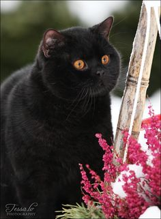Love his orange eyes and fat face! Cat Art... =^. ^=... ❤... Black British Shorthair... By Tessa LV Photography...