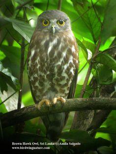 Brown Hawk Owl (Ninox scutulata) by Amila Salgado