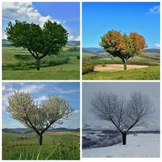 ...jeden strom...štyri ročné obdobia...Foto: Jasom Asi Dandelion, Flowers, Plants, Dandelions, Flora, Plant, Royal Icing Flowers, Flower, Florals