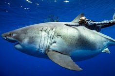Was watching a Documentary about this absolute UNIT! Deep Blue, believed to be the current largest Great White Shark. Largest Great White Shark, The Great White, Deep Blue Shark, Shark Pictures, Shark Pics, Shark Photos, Shark Art, Funny Pictures, Underwater Pictures