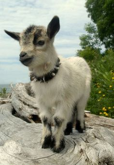 #goatvet likes this portrait of a kid - The Daily Cute: 10 Photos to Get Your Goat
