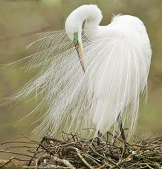 Great Egret.  A sign of good luck when you see one.