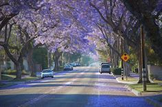 Jacaranda Trees in Whittier