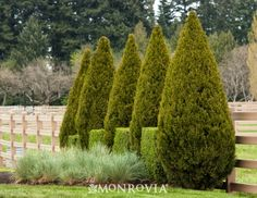 Monrovia's Spartan Juniper details and information. Learn more about Monrovia plants and best practices for best possible plant performance. (Front Flowerbeds)