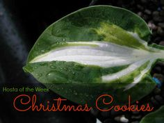 Our first hosta of the week is 'Christmas Cookies'. While it is a little late for Christmas, it's never to late to enjoy Cookies! This beautiful hosta is the tetraploid sport of 'Night before Chr...