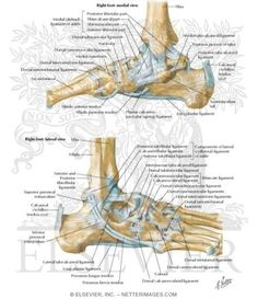 Ligaments of the Ankle Joint Ligaments and Tendons of Ankle Ankle Anatomy, Ligaments And Tendons, Ankle Joint, Medical Art, Nursing Notes, Foot Pictures, Anatomy And Physiology, Anatomy Reference, Feet Care