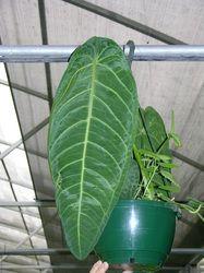 Anthurium warocqueanum 'closed sinus'