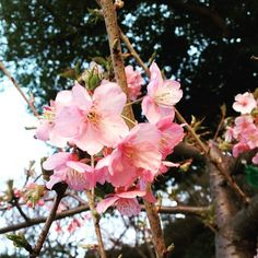 【yukilagoon】さんのInstagramをピンしています。 《* 不忍池の桜がもう咲いてた🌸 この寒さももうちょっとで終わり🌿✨ #お散歩#working #holiday #shinobazupond #不忍池#桜#cherryblossom》
